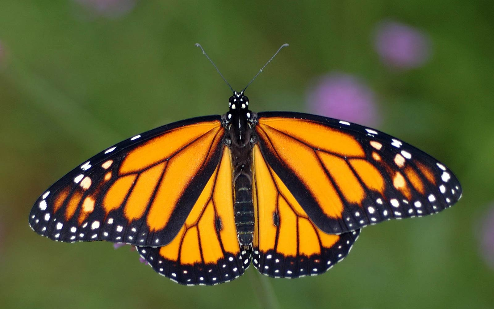 Protect Monarch Butterflies from radiation | EMF Safety ... - photo#50